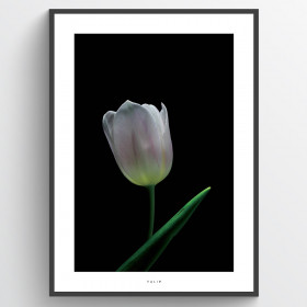 White tulip - plakat wallsticker