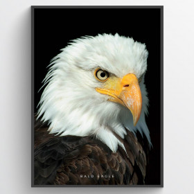 Bald Eagle - plakat wallsticker