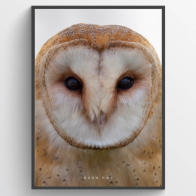 Barn Owl - plakat wallsticker